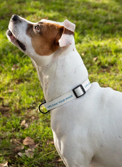 Dog Collar Mockup of a White Dog Looking Up 33279